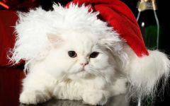 Персидский кот в шапке