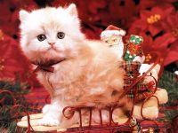 Белый пушистый котенок