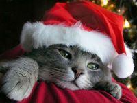 Кот в рождественской шапочке