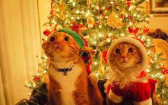 Кошки в новогодних костюмах