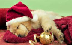 Спящий щенок золотистого ретривера