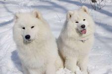 Самоедские лайки на снегу