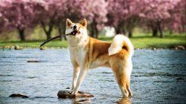 Акита собаки