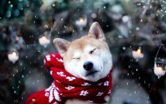 Акита порода собак
