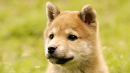 Шиба Сиба ину цена щенка