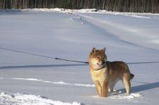 Японская собака шиба сиба