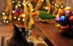 Длинношерстная чихуахуа и попугай неразлучник