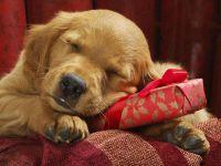 Щенок золотистого ретривера спит на новогоднем подарке