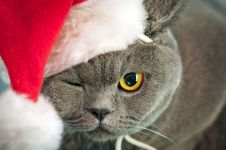 Британский кот в красной шапочке