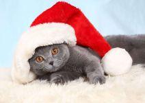 Британская кошка в новогоднем колпаке