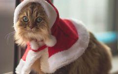 Персидская кошка в новогоднем костюме