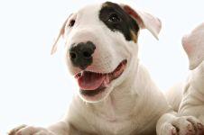 Бультерьер купить щенка