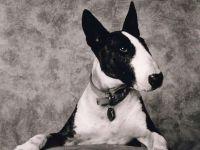 Порода собак бультерьер