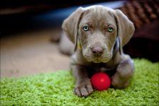 Щенок веймаранера с красным мячиком