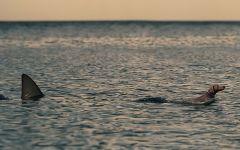 Акула плывет за веймаранером