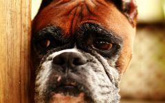 Боксер собака