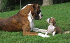 Боксер собака цена