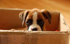 Купить щенка немецкого боксера