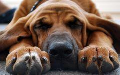 Спящий бладхаунд