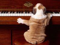 Английский бульдог за роялем