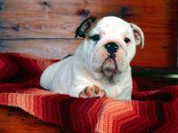 Симпатичный щенок английского бульдога