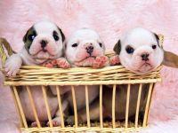 Три щенка английского бульдога