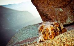 Австралийская овчарка болезни