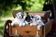 Щеночки австралийской овчарки