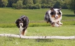 Австралийские овчарки прыгают через барьер