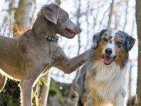 Веймаранер и австралийская овчарка