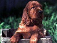 Куплю щенка английского кокер спаниеля