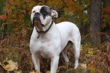 Порода собак американский бульдог