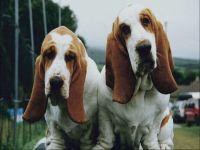 Порода собак басет