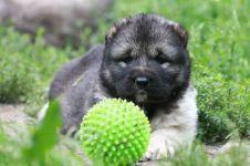 Куплю щенка кавказской овчарки