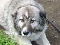 Порода собак кавказская овчарка