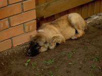 Грустный щенок кавказской овчарки