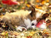 Спящий щенок колли