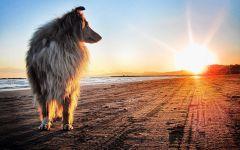 Колли шотландская овчарка