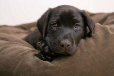 Шоколадный щенок лабрадора-ретривера