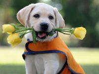 Щенок палевого лабрадора держит в зубах жёлтые розы