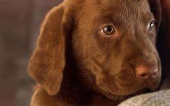 Шоколадный щенок лабрадора