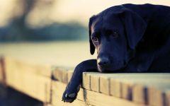 Собака лабрадор цена