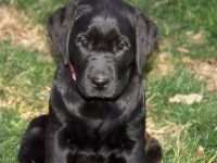 Грустный щенок черного лабрадора