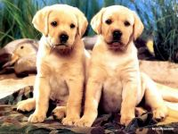 Два палевых щенка лабрадора ретривера