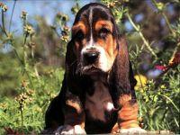 Бассет хаунд цена собаки