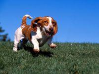 Бассет хаунд отзывы собака