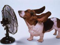 Уши бассета развиваются перед вентилятором