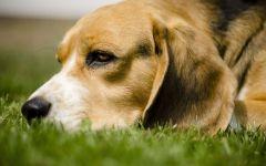 Бигль лежит в траве