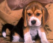 Порода собак бигль цена