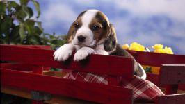 Симпатичный щенок бигля